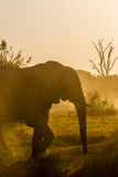 Beautiful elephant in Chobe National Park in Botswana. Africa Royalty Free Stock Images