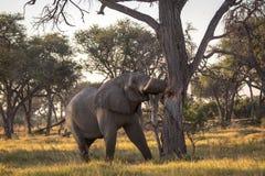 Beautiful elephant in Chobe National Park in Botswana. Africa Royalty Free Stock Photos
