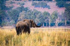 Beautiful elephant in Chobe National Park in Botswana. Africa Royalty Free Stock Image