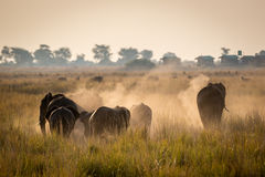 Beautiful elephant in Chobe National Park in Botswana. Africa Royalty Free Stock Photo