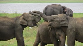 Beautiful Elephant couple in love stock photo
