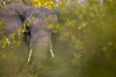Beautiful Elephant feeding in the Kruger royalty free stock images