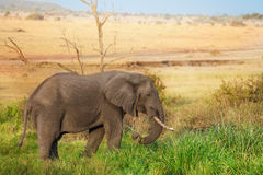 Beautiful elephant grazing at Kenyan savannah. Beautiful African elephant grazing at Kenyan savannah royalty free stock photo