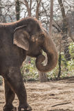 Beautiful elephant at zoo in Berlin. Germany Royalty Free Stock Image