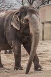 Beautiful elephant at zoo in Berlin. Germany Stock Photos