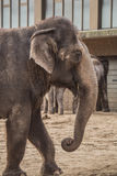 Beautiful elephant at zoo in Berlin. Germany Stock Photography