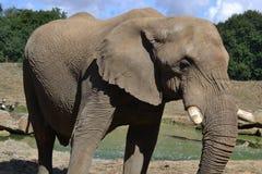 Beautiful Elephant in a Zoo stock photos
