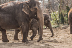 Beautiful elephants at zoo in Berlin. Germany Royalty Free Stock Photo