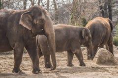 Beautiful elephants at zoo in Berlin. Germany Stock Photo