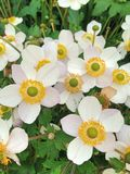 White and yellow Anemone flowers called Elfin Swan stock photography