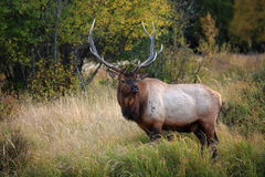 Beautiful Elk Royalty Free Stock Images
