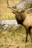 Beautiful Elk. Big Elk standing in a fall meadow Royalty Free Stock Photography