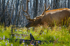 Beautiful Elk Yellowstone National Park Stock Photos