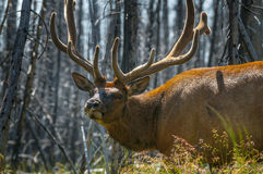 Beautiful Elk Yellowstone National Park Stock Photo