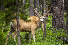 Beautiful elk in Yellowstone National Park Royalty Free Stock Images