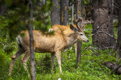Beautiful elk in Yellowstone National Park Stock Photography