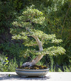 Beautiful Elm Bonsai Tree Outside Stock Image