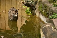 Beautiful and elusive fishing cat in the nature habitat near water. Endangered species of cats living in captivity. Kind of small cats. Prionailurus viverrinus Royalty Free Stock Photos