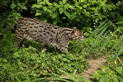Beautiful and elusive fishing cat in the nature habitat near water. Endangered species of cats living in captivity. Kind of small cats. Prionailurus viverrinus Stock Image