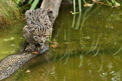 Beautiful and elusive fishing cat in the nature habitat near water. Endangered species of cats living in captivity. Kind of small cats. Prionailurus viverrinus Royalty Free Stock Image