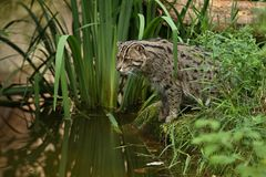 Beautiful and elusive fishing cat in the nature habitat near water. Endangered species of cats living in captivity. Kind of small cats. Prionailurus viverrinus Stock Photos