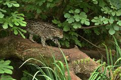 Beautiful and elusive fishing cat in the nature habitat near water. Endangered species of cats living in captivity. Kind of small cats. Prionailurus viverrinus Stock Photography