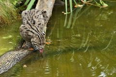 Beautiful and elusive fishing cat in the nature habitat near water. Endangered species of cats living in captivity. Kind of small cats. Prionailurus viverrinus Stock Photo