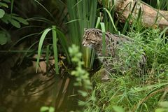 Beautiful and elusive fishing cat in the nature habitat near water. Endangered species of cats living in captivity. Kind of small cats. Prionailurus viverrinus Royalty Free Stock Images