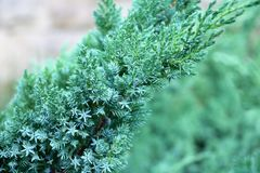 Beautiful emerald green branch of a juniper, сoniferous texture stock image