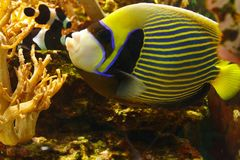 Beautiful Emperor angelfish Pomacanthus imperator among coral reef. Beautiful Emperor angelfish Pomacanthus imperator among the underwater coral reef royalty free stock photos