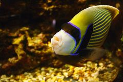 Beautiful Emperor angelfish Pomacanthus imperator in habitat. Beautiful Emperor angelfish Pomacanthus imperator in their habitat stock images