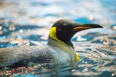 Beautiful emperor penguin floats in the zoo in Tenerife, Spain. Beautiful emperor penguin floats here and there in the artic zone of the zoo. The zoo is full of Royalty Free Stock Photos