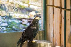 The beautiful and endangered Golden Eagle or Aquila Chrysaetos. Carpathian eagle at the zoo stock photo