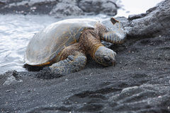 Beautiful endangered green sea turtle Royalty Free Stock Photo