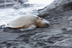 Beautiful endangered green sea turtle Royalty Free Stock Images