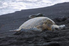 Beautiful endangered green sea turtle Royalty Free Stock Image