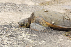 Beautiful endangered green sea turtle Royalty Free Stock Photography