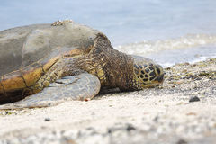 Beautiful endangered green sea turtle Stock Photography