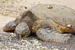 Beautiful endangered green sea turtle Stock Images