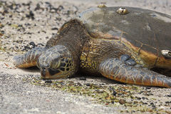 Beautiful endangered green sea turtle Stock Photo
