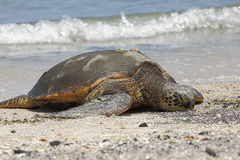 Beautiful endangered green sea turtle Stock Photos