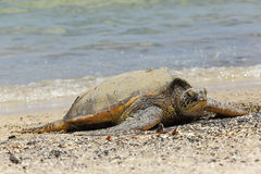 Beautiful endangered green sea turtle Stock Image