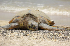 Beautiful endangered green sea turtle Royalty Free Stock Photos