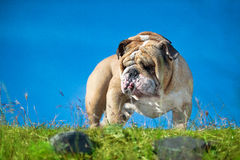 Beautiful Engish Bulldog outdoors standing Royalty Free Stock Photo
