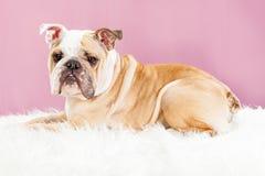 Beautiful English Bulldog on Fur Blanket royalty free stock image
