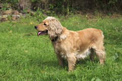 Beautiful English Cocker Spaniel. On a background of green grass Royalty Free Stock Photos
