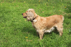 Beautiful English Cocker Spaniel on background of green grass. Royalty Free Stock Photos