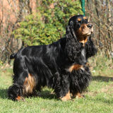 Beautiful English Cocker Spaniel in the garden Royalty Free Stock Photography