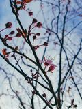 Beautiful english garden spring time. First opening buds on blossom tree Stock Photos