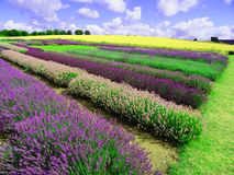 Beautiful English rainbow of lavender Stock Photos